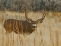 Typical mule deer for northwest Colorado.
