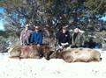 Double cow elk