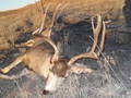 Hybrid whitetail buck mule deer