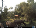 Elk herd at a water hole.