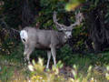 Typical mule deer found on this hunt.