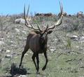 Bull elk called in at close range.