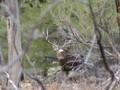 Mule Deer buck has you pegged.