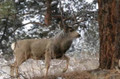Mule deer in rut doesn't notice the photographer.