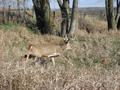 The whitetail buck that got away....again.