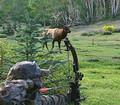 Full draw on a nice bull elk in September.