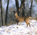 Picture perfect deer and a little snow to track with.