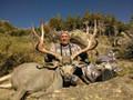Wide heavy beam mule deer buck.