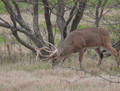 Whitetail buck on the trail of a doe in heat.