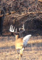 Whitetail running away.  Can't take a shot, or can I?