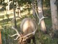 Nice view of elk antlers.