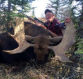 Shiras moose in Newfoundland Canada
