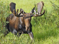 Watch out when your guide calls in a bull moose.