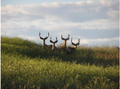 Alert mule deer in pasture.