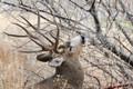 Mule deer scraping antlers and glands.