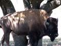 Buffalo hunts.