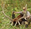 Big bull elk in velvet.