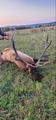 Big NM bull elk.