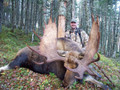 Trophy Newfoundland moose.