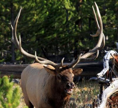 Wide antlered walking elk