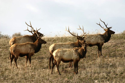 Bachelor heard of bull elk.