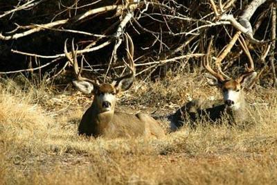 Hunt #5081 DIY Mule Deer/Elk Cabin on 500 Ac Private