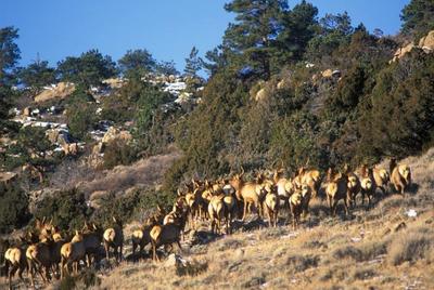 Colorado elk herd