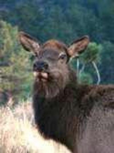 Cow elk that won't be alive long.
