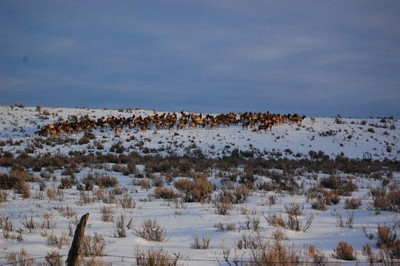 Cow elk herd typical for the NW part of CO.