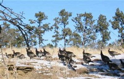 Typical group of turkey in Wyoming.