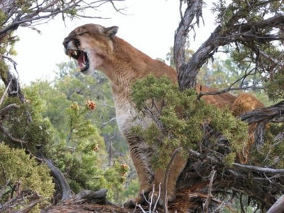 Another treed mountain lion.