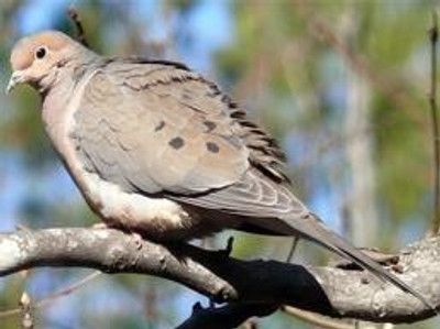 Morning doves and Collard ring neck dove hunting.