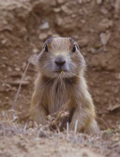 Prairie Dogs are a varmint and rodent.