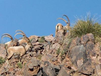 Ibex hunts in NM.
