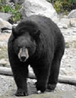 blackbear2.jpg
