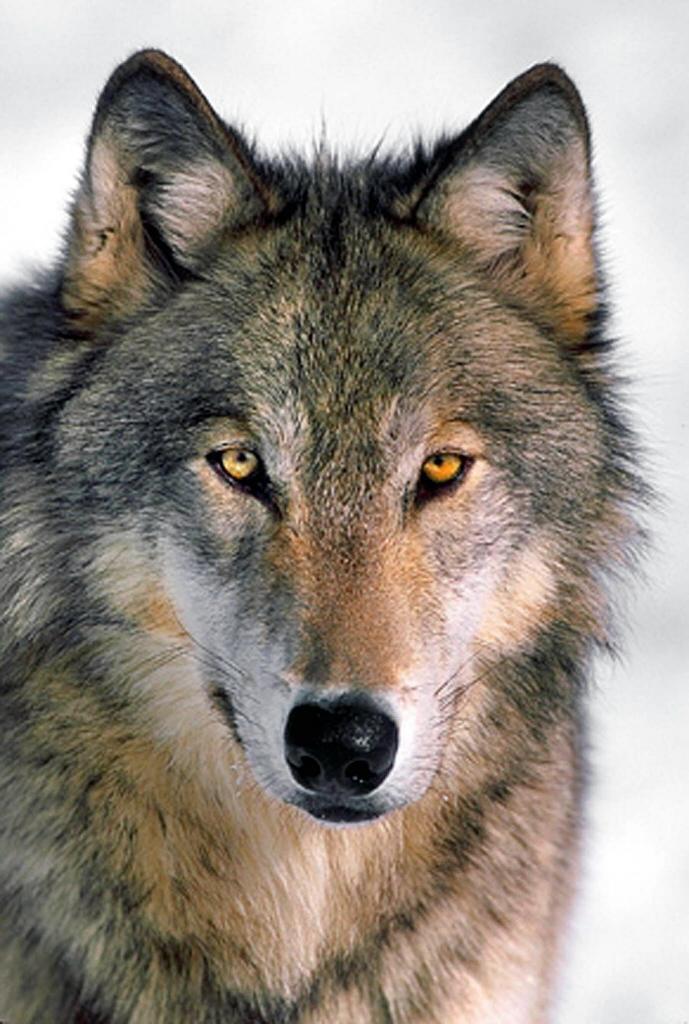 gray-wolf-51.jpg