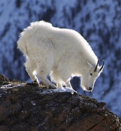 mountaingoat.jpg