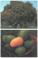 Handy Pocket Guide to Tropical Fruits (9780794601881)