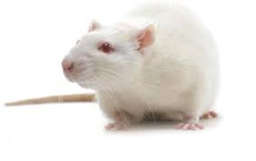 Small Adult Rat
