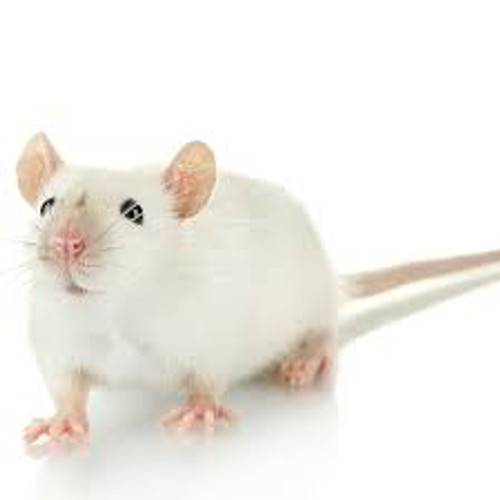 Adult Mice