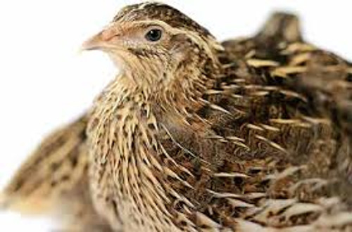 Quails - Adult