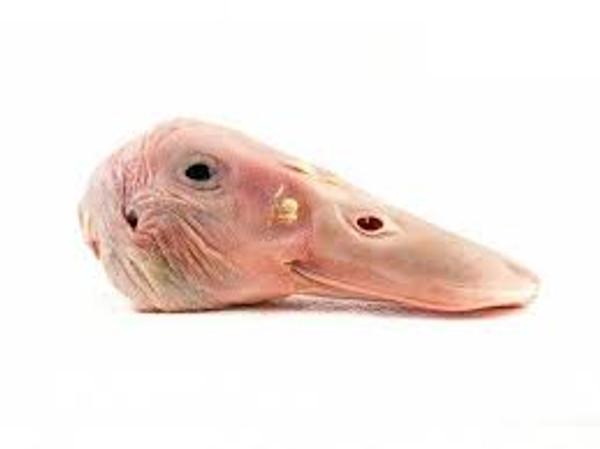 Duck Heads - (Duplicate Imported from BigCommerce)
