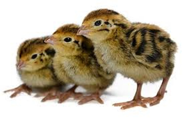 Chickens For reptile food