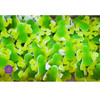 Frog Gummy-SC-WF