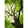 Oak Wood-FA