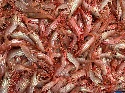 before processing alaska spot prawns