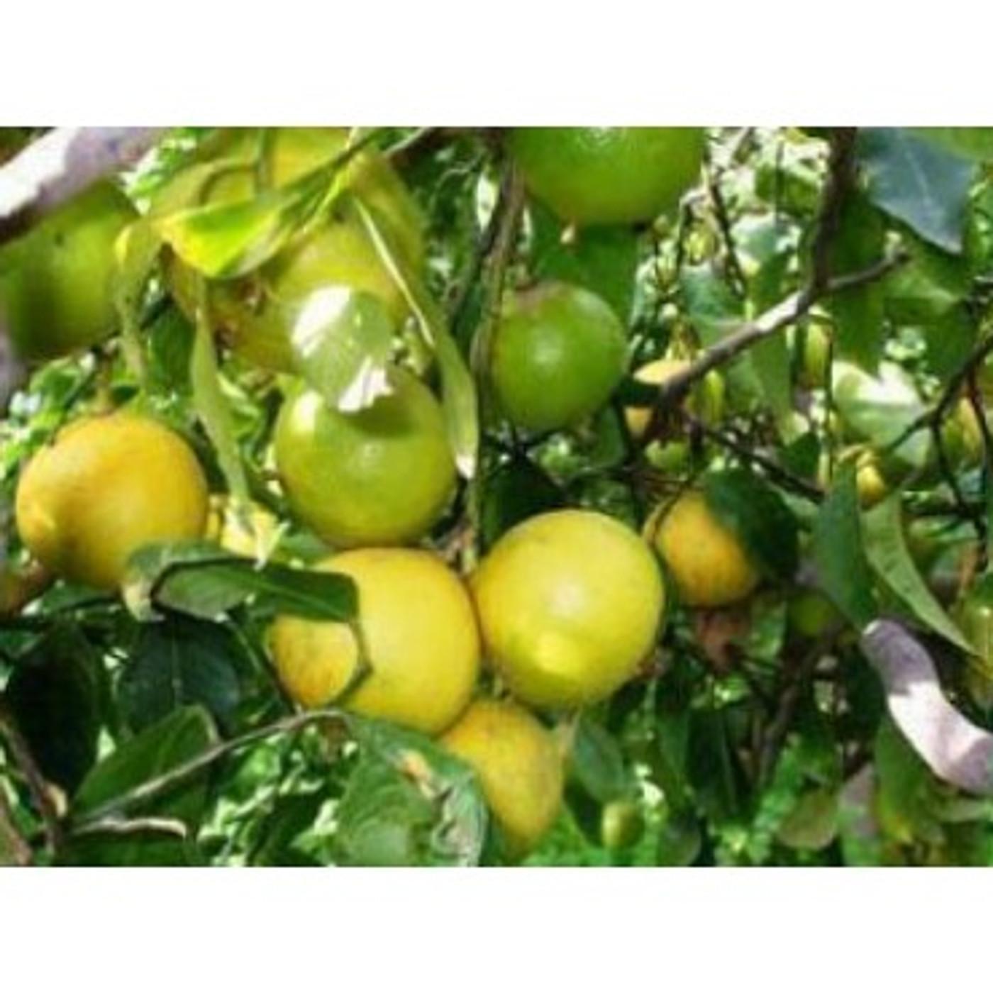 Bergamot Lemon Balsamic