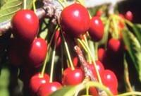 Cherry Balsamic