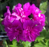 Ivy Geranium 'Lavender Girl'  Cuttings or Potted
