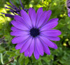 Osteospermum Elite Blue (African Daisy) cuttings or potted..